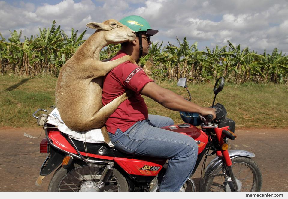 Goat Going for a Ride