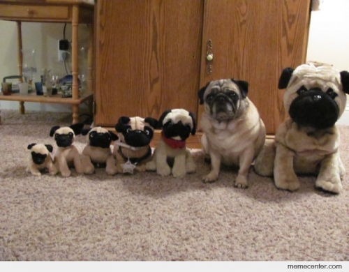 Real Pug Hangs Out with Fake Pugs