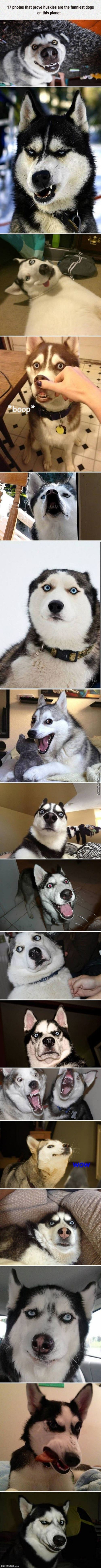 All Husky Meme In One