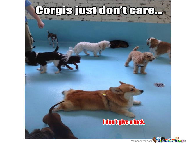 Corgis Dont Care