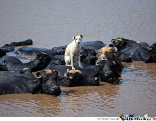 Dog Crossing The River Like A Boss !