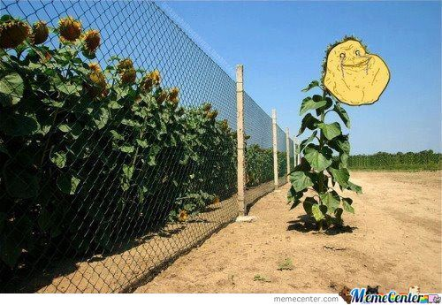Forever A Sunflower
