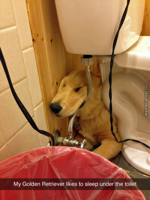 Golden Retriever Sleeping Funny