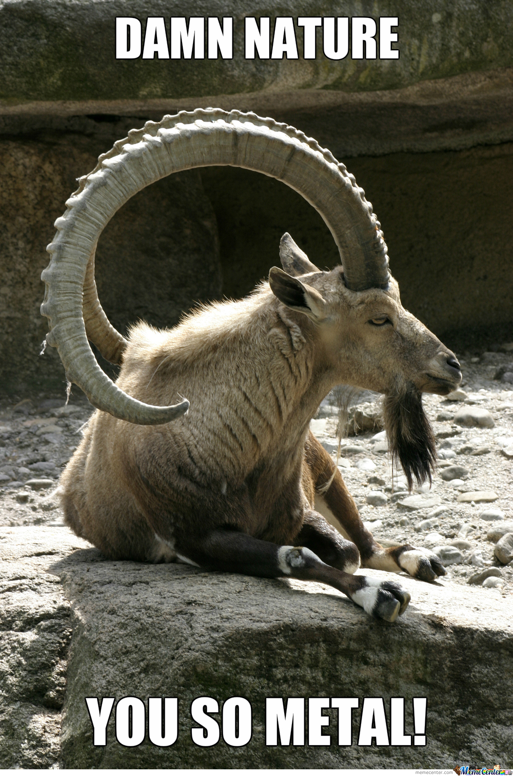 Nubian Ibex's Are Fucking Awesome!