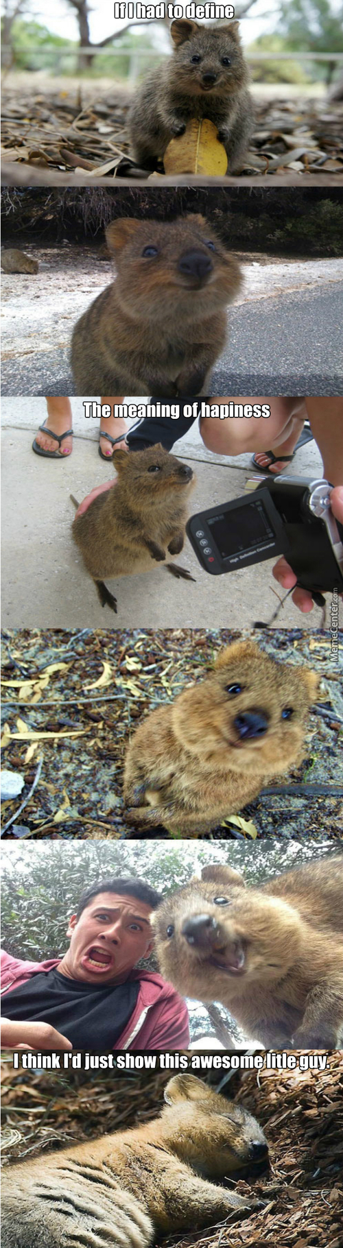The Meaning Of Hapiness Shown By An Awesome Litle Quokka