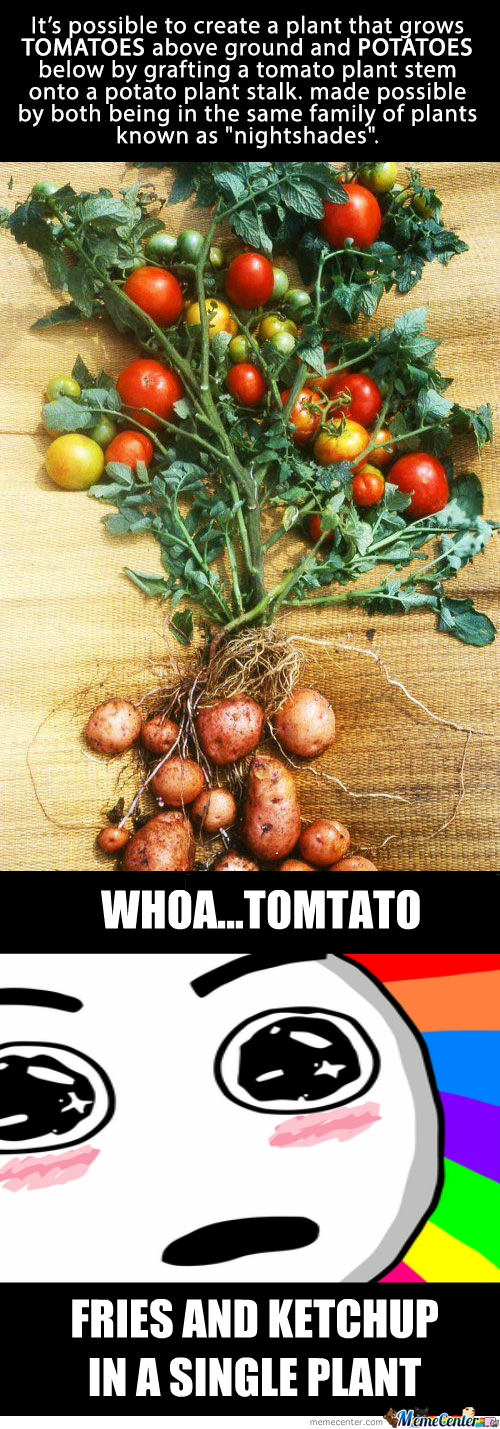 Tomato + Potato = Tomtato