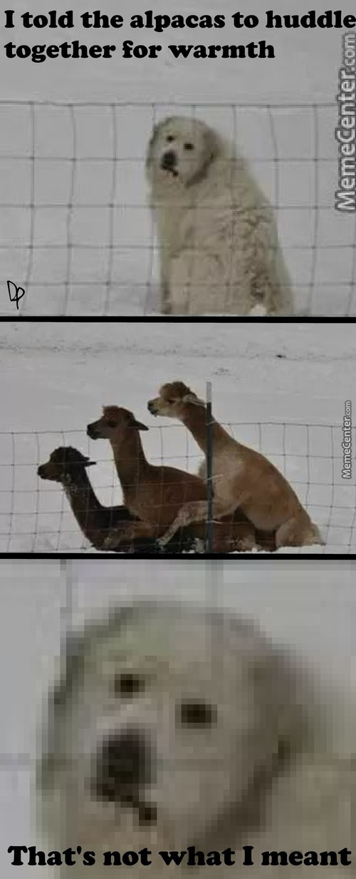 Why Do You Do This Alpacas?
