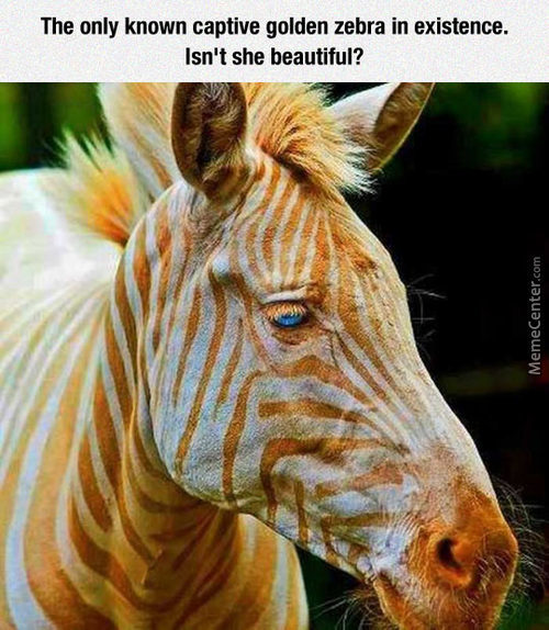A Golden Zebra