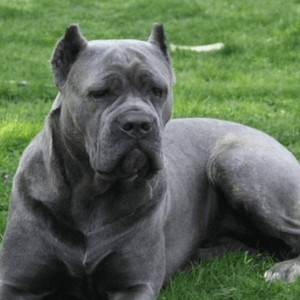 Cane Corso Puppies For Sale In Ga By Canecorsobreeders Meme Center