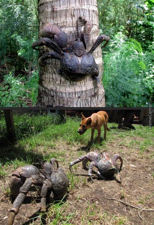 Coconut Crab, Spider With Armor, Crab Spider, Spider Crab, I Don't Care What You Call It. This Is Just One Huge Nope!