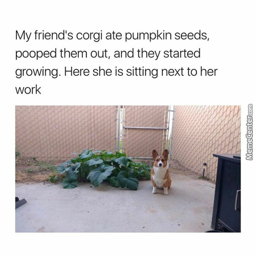 Corgi Is A But A Simple Farmer
