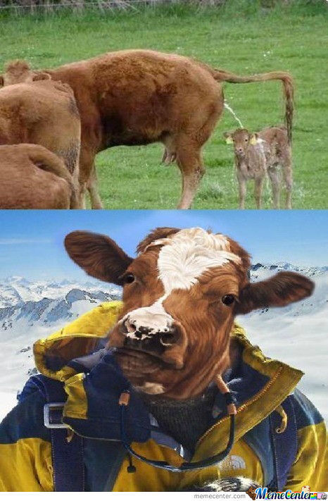 Cow Memes Best Collection Of Funny Cow Pictures