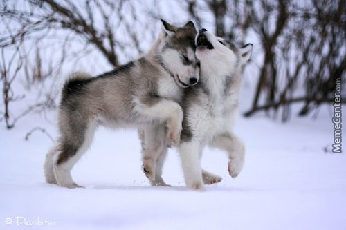 Cute Siberian Huskies By Patco444 Meme Center