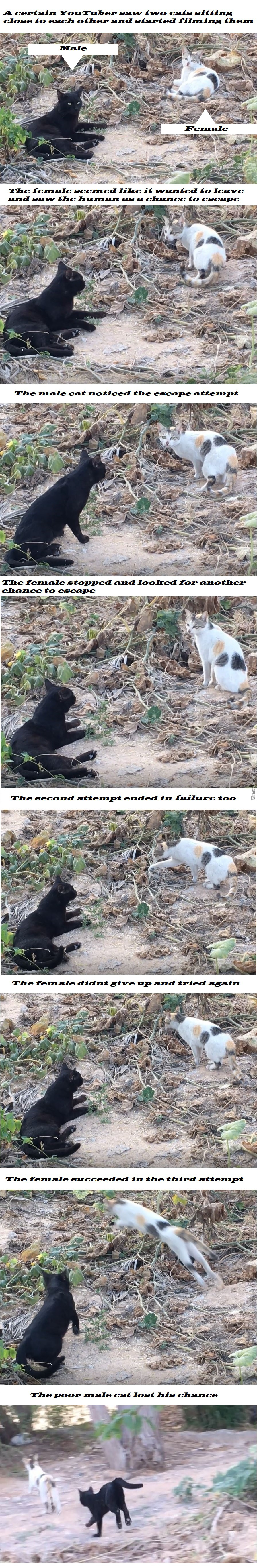 Did The Female Cat Use The Human To Escape From The Male Cat?