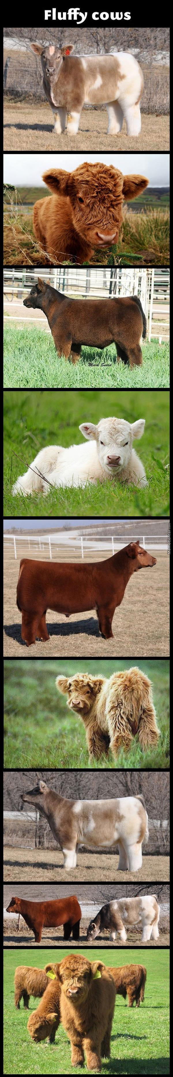Fluffiest Cows Ever :3