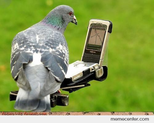 homing pigeon now with gps