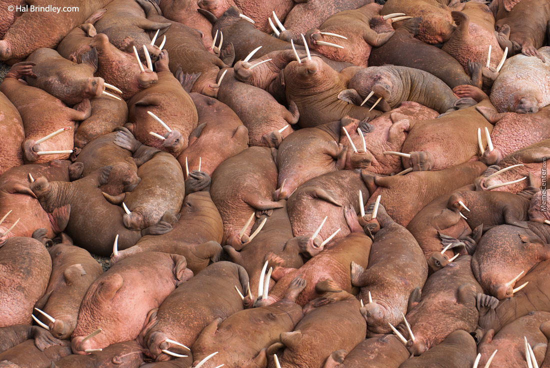 Just One Big Fuckin' Walrus Orgy Up In Here.