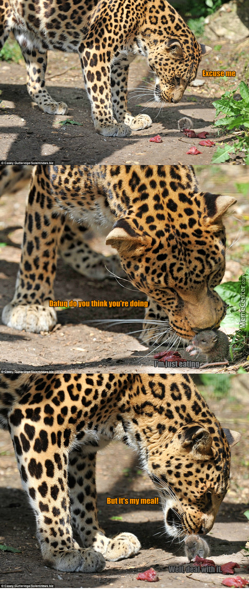 Not Sure If This Rat Is Badass Or Just Oblivious To The Big Leopard...