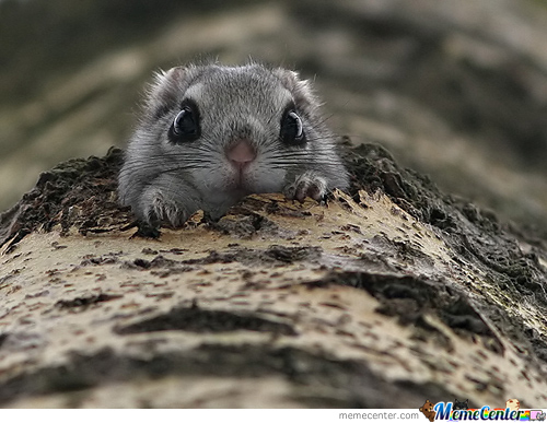 Too Cute For Captions Baby Japanese Flying Squirrel By Cuteasfuck
