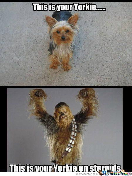 Yorkie With Steroid?